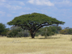 Camel Thorn Tree legend